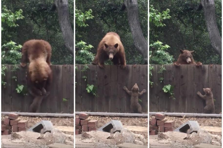 Mamá oso ayuda a pasar a su hijo.