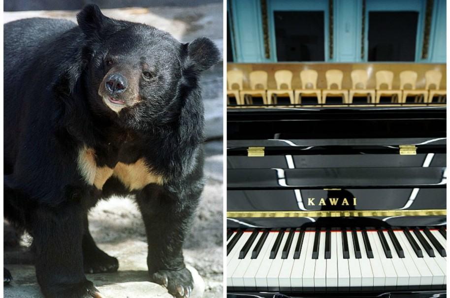 Oso y piano. Pulzo.com