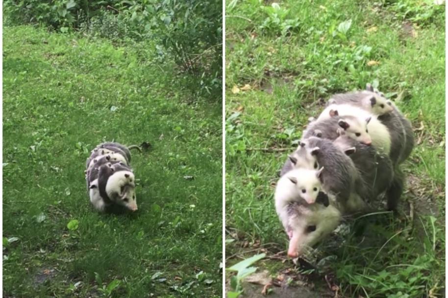 Zarigüella carga a sus bebés.
