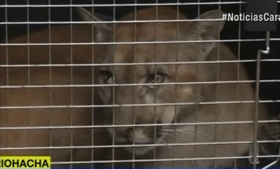 Puma restacado en Riohacha. Pulzo.com