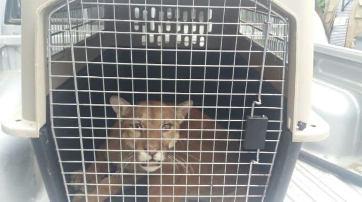 Puma rescatado en Riohacha. Pulzo.com