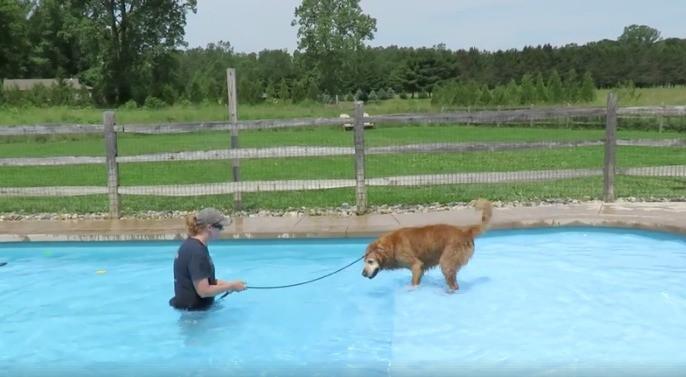 Perro golden retriever nada por primera vez. Pulzo.com