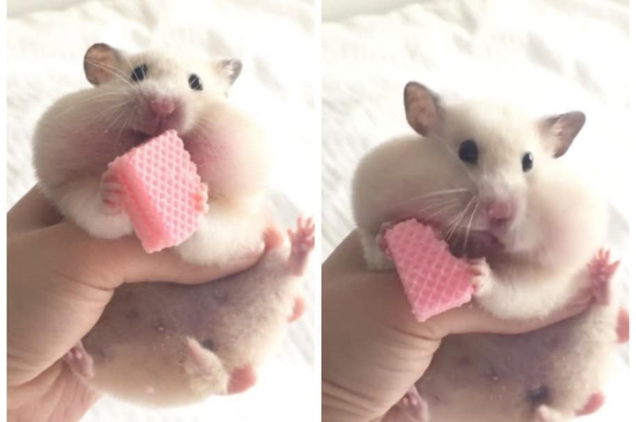 Hámster comiéndose una galleta. Pulzo.com