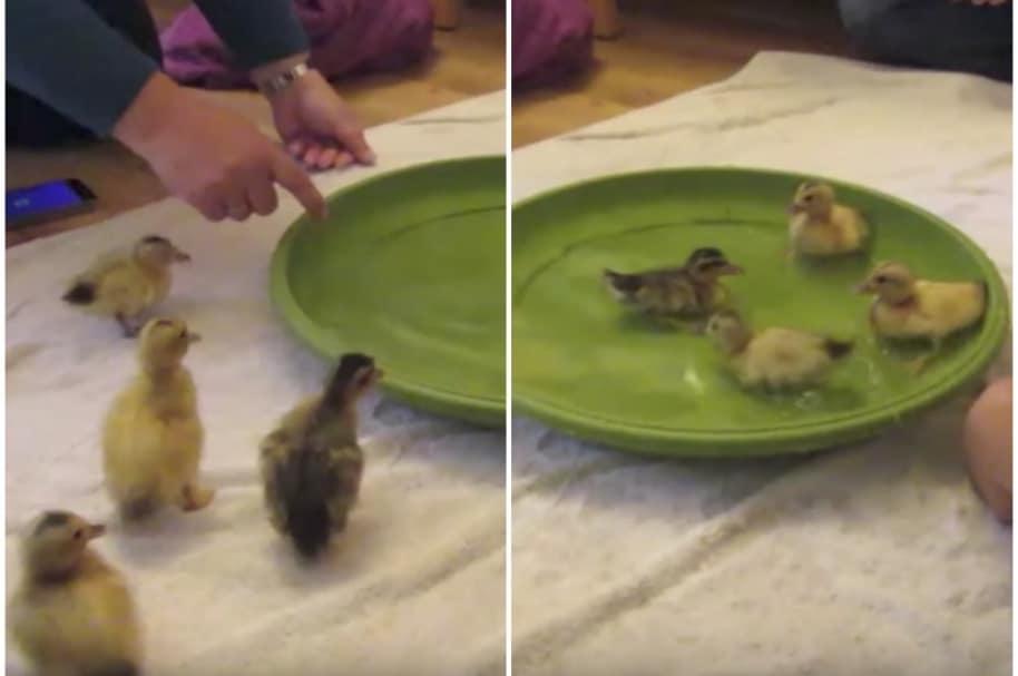 Patos aprenden a nadar.