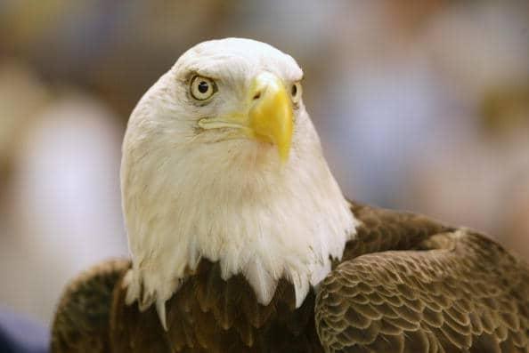 Águila calva. Pulzo.com
