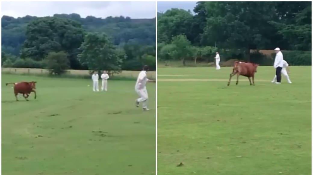 Vaca en juego de críquet.