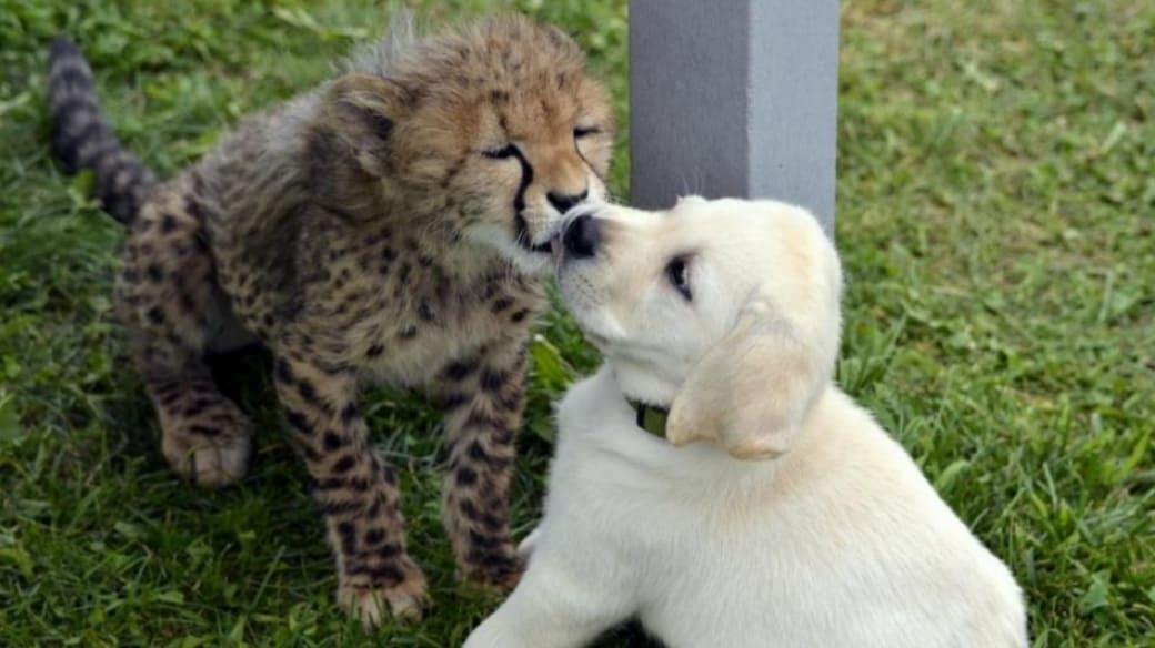 Perro y guepardo.