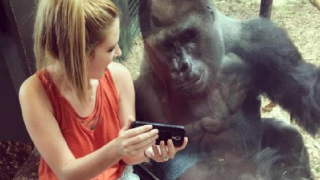 Joven le muestra videos a gorila. Pulzo.com