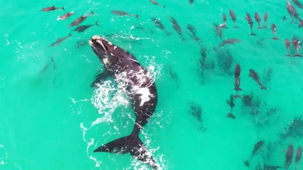 Ballena nada entre delfines.