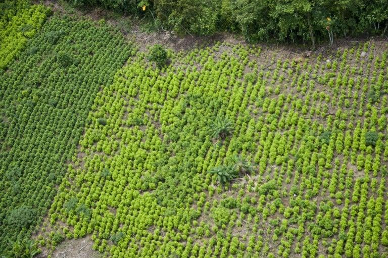 Plantación de hoja de coca en Nariño