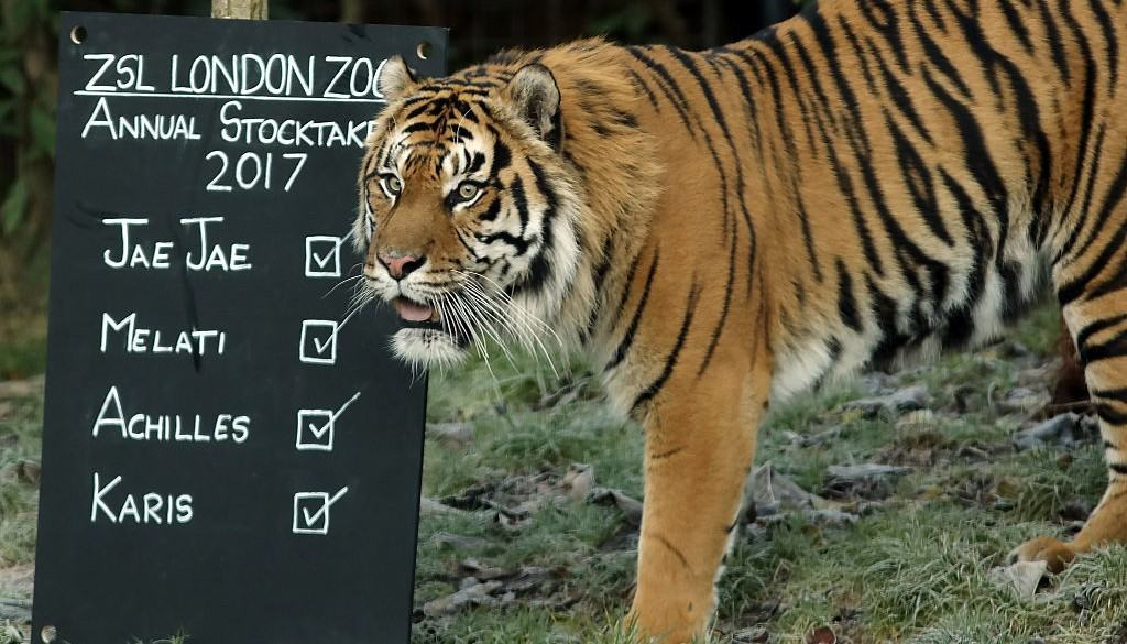 Tigre en el zoológico de Londres