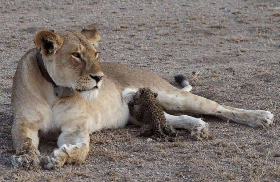 Leona adoptó cachorro de leopardo