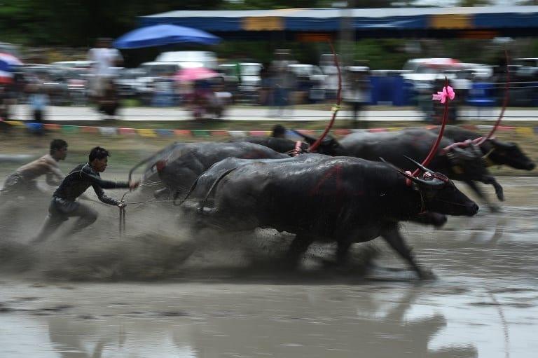 Carrera de búfalos en Tailandia. Pulzo.com