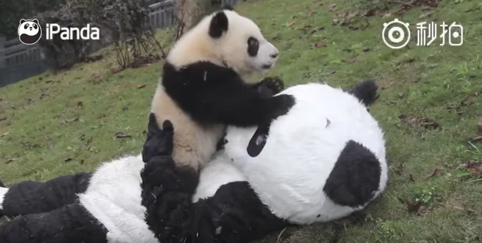 Hombre dizfrazado de mamá panda juega con un panda bebé. Pulzo.com