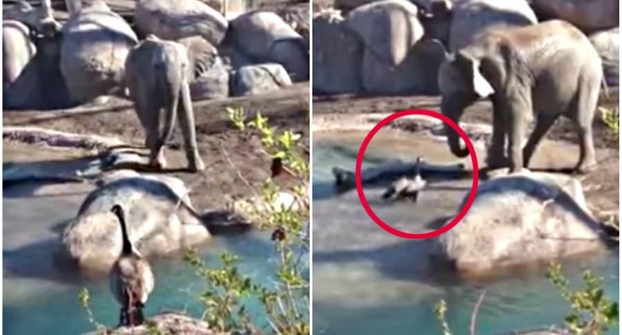 Ganso se enfrenta a elefante.