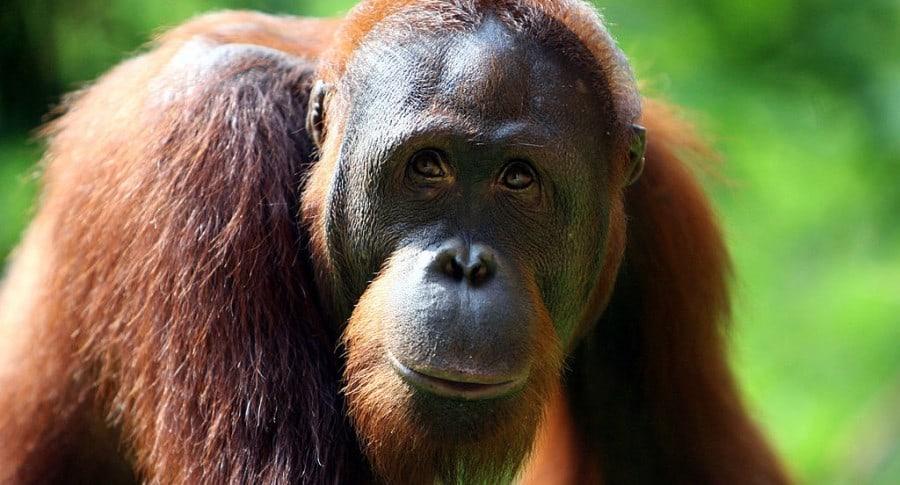 Orangután. Pulzo.