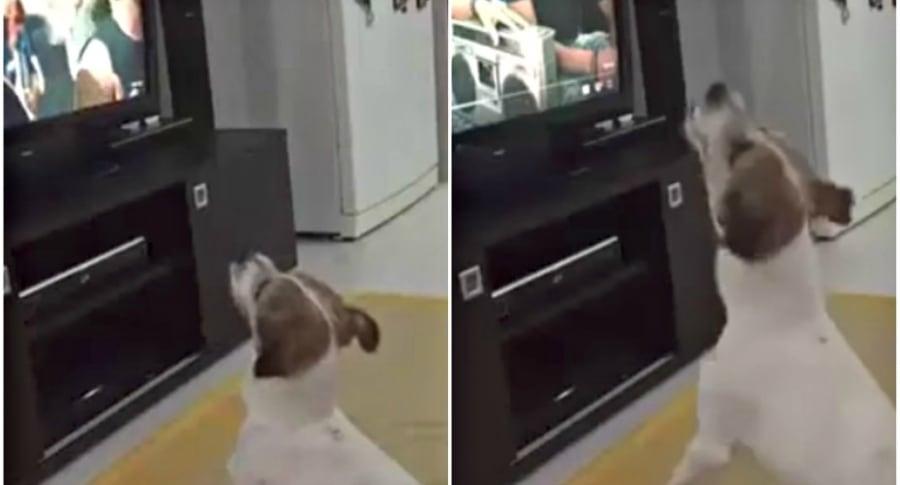 Perro viendo el video de 'Despacito'.
