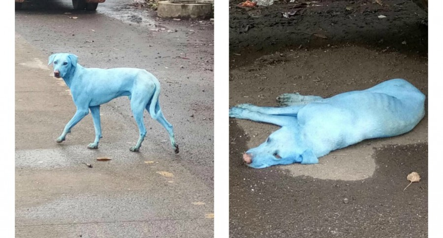 Perro azul. Pulzo.