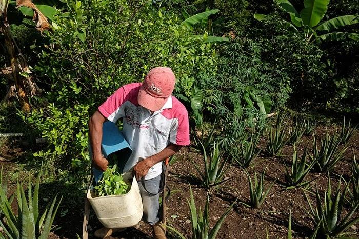 Cultivo de coca en Cauca