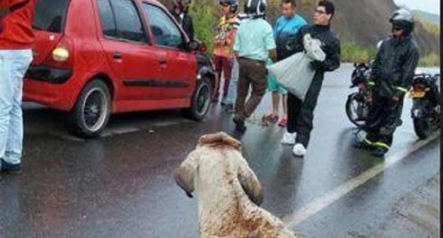 Accidente con una vaca