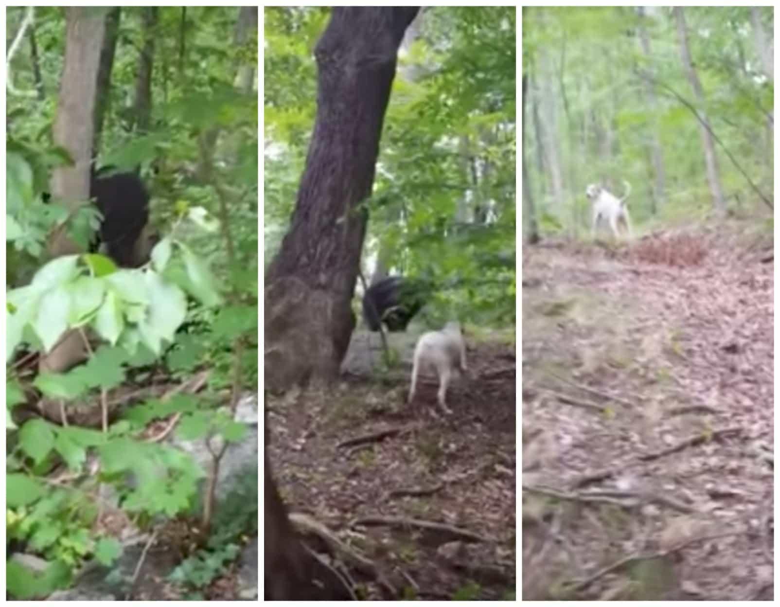 Perro persigue a un oso. Pulzo.