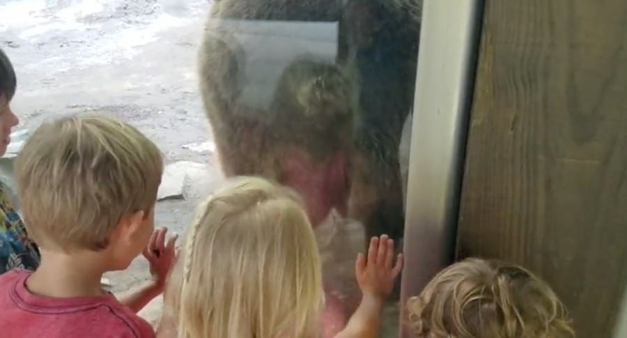 Oso hace popó frente a niños. Pulzo.