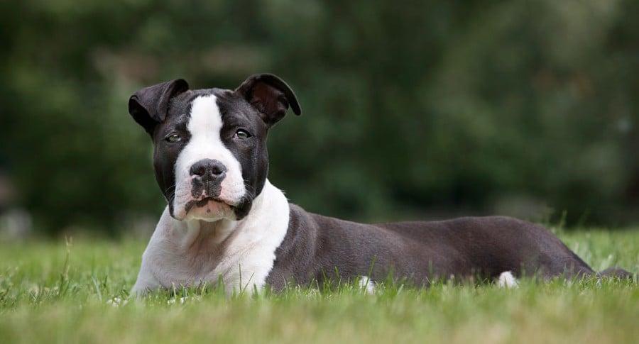 Perro staffordshire terrier