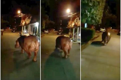 Hipopótamo recorre Doradal (Antioquia).