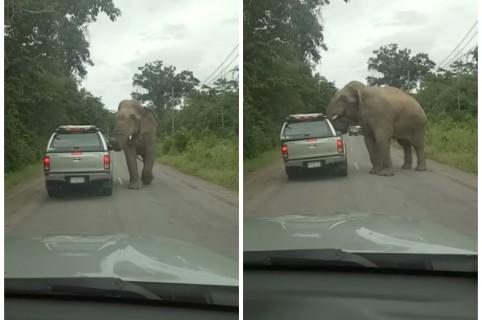 Elefante le quita el techo a una camioneta. Pulzo.