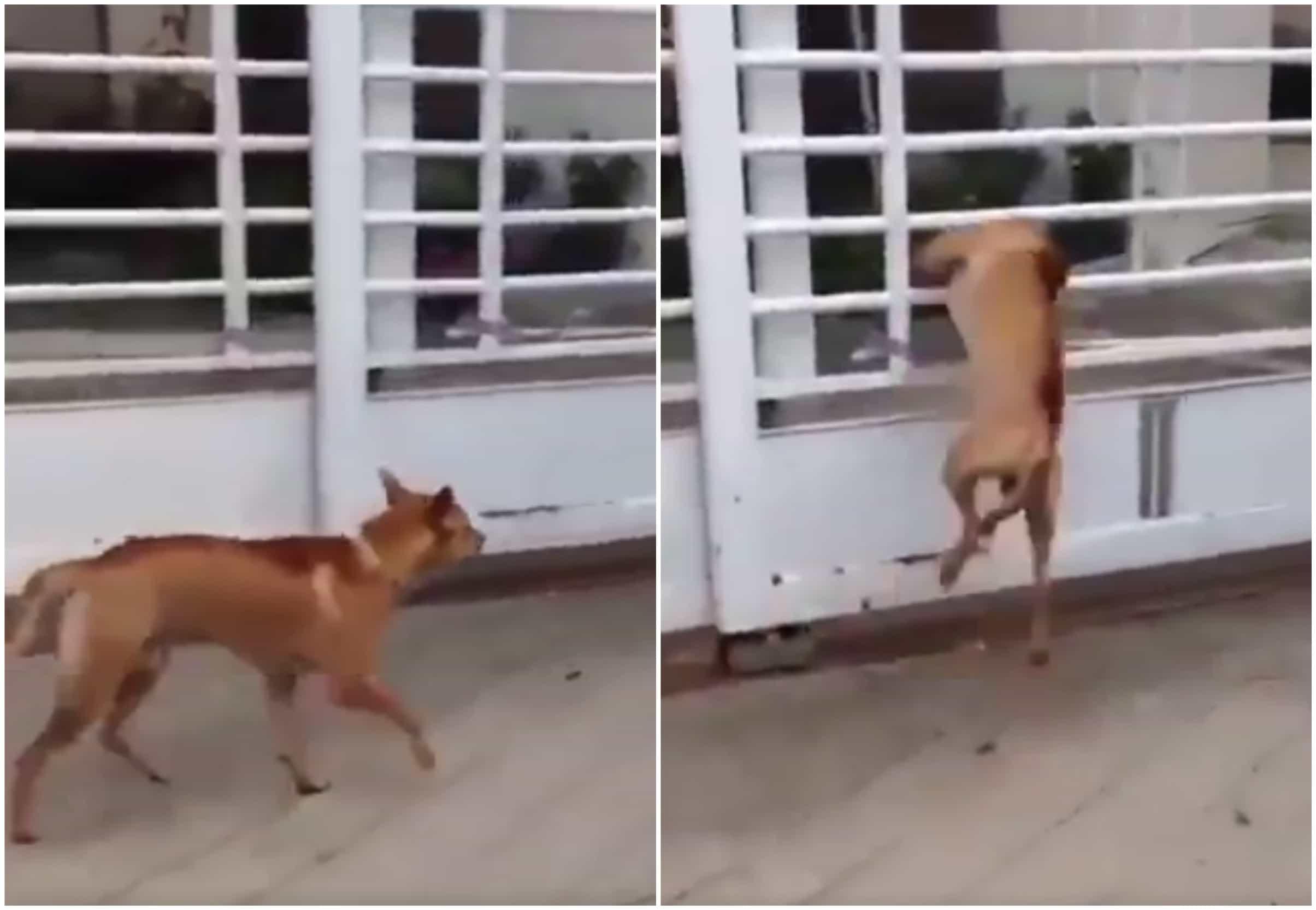 Perro atraviesa reja de casa. Pulzo.