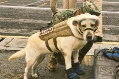 Frida, perra rescatista de México. Pulzo.