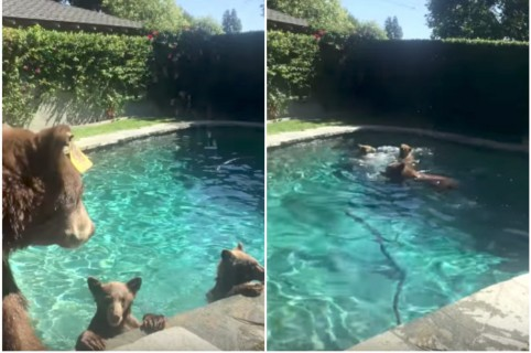 Osos en una piscina. Pulzo.