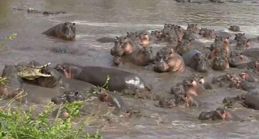 Ataque de hipopótamos a cocodrilo.