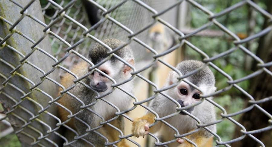 Mono tití panameño