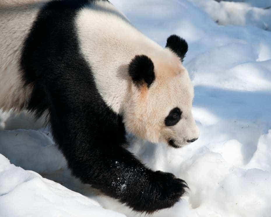 Oso panda en la nieve.