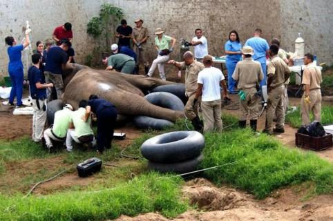 Elefante en cirugía dental.