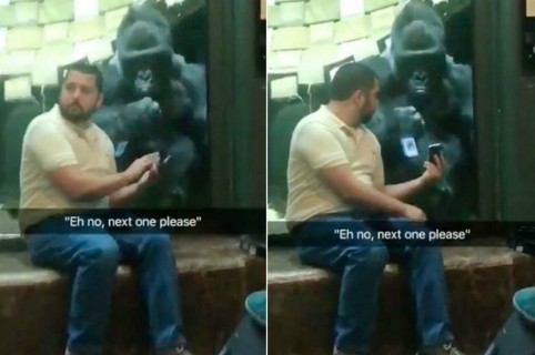 Gorila mira un celular.