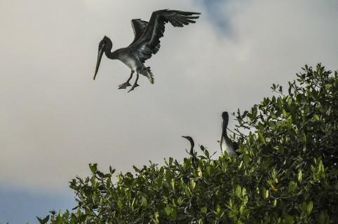 Pelícanos en Bahía Málaga.
