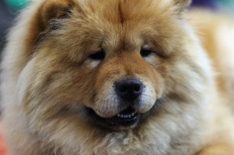 Perro chow chow. Pulzo.