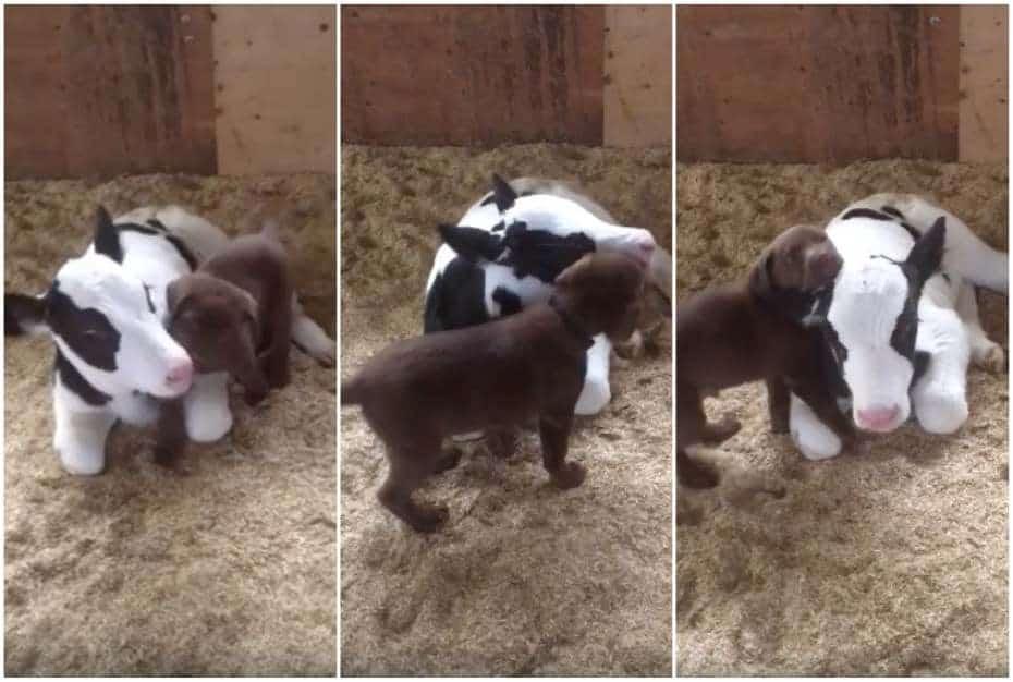 Perrito y ternero juegan juntos.