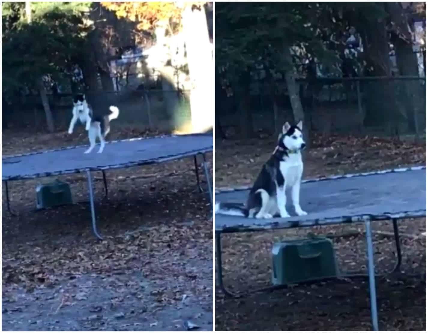Perra husky siberiano salta en un trampolín. Pulzo.