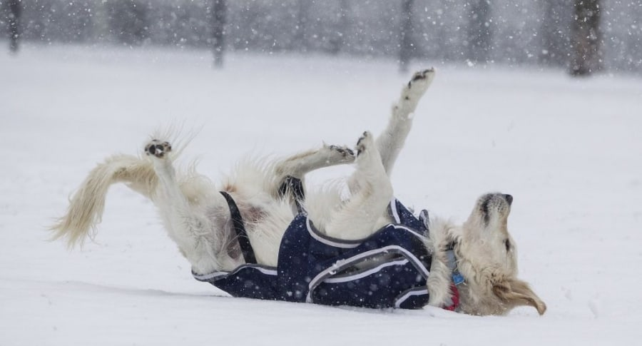 Perro recostado en la nieve. Pulzo.