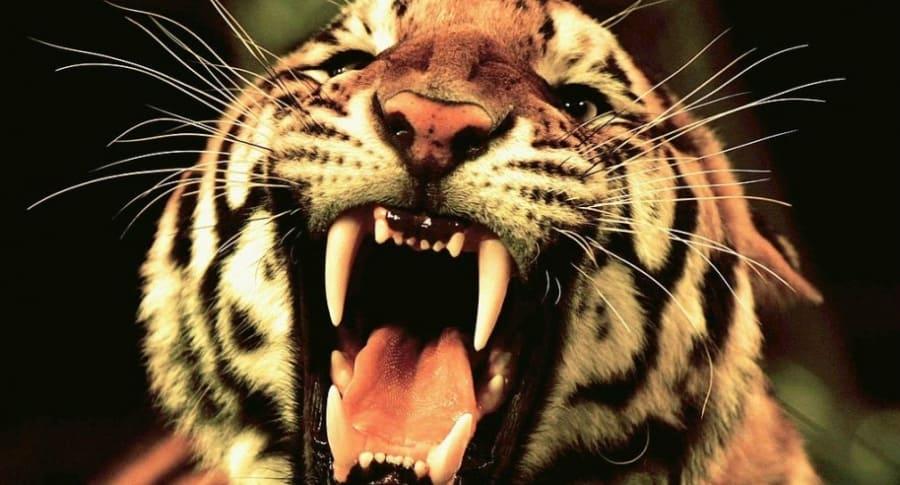 Tigre. Pulzo.