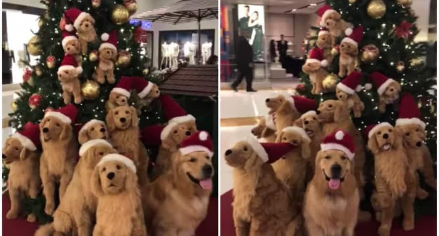 Perro golden retriever posa con peluches parecidos a él. Pulzo.