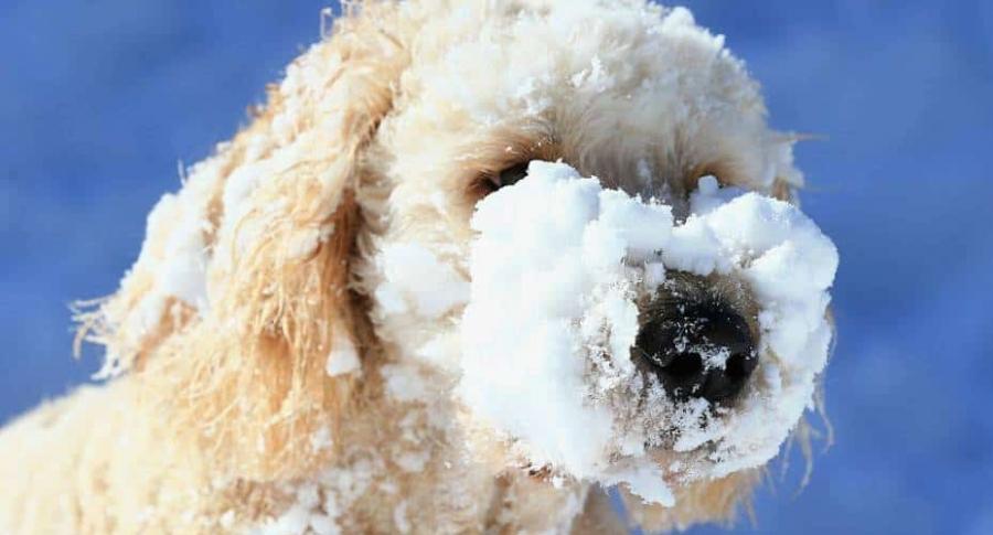 Perro con nieve en el hocico.