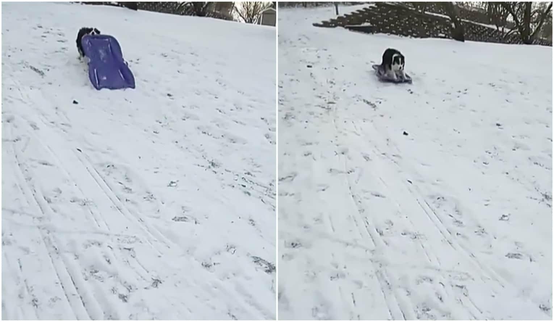 Secret, perra que se deslizó sobre un trineo por la nieve. Pulzo.