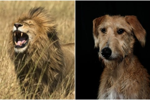 León y un perro. Pulzo.