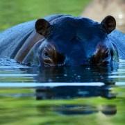 Hipopótamo Hacienda Nápoles