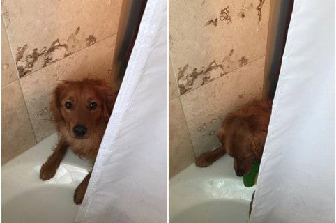 Perro mete su juguete a ducha. Pulzo.