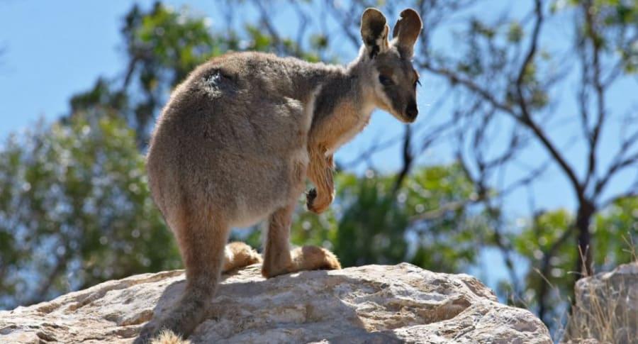 Ualabí, animal parecido al canguro.